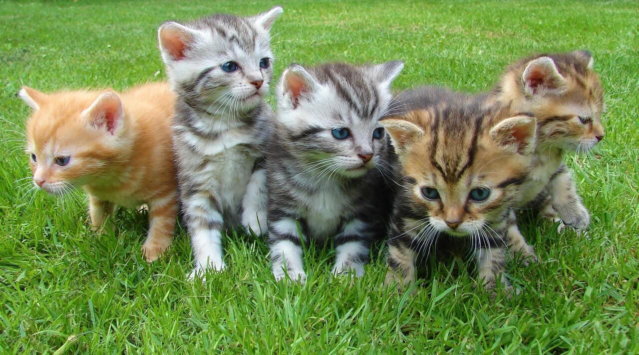 רשת חתולים